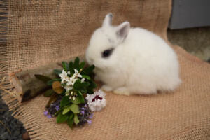 Pure bred baby Netherland Dwarfs bunnies for sale