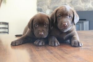 Beautiful CKC Chocolate Lab Puppies for Sale
