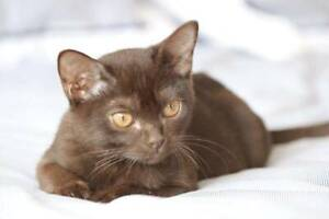 Pedigree Mandalay Kittens - Registered Breeder