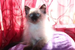 Himalayan/Ragdolls Kittens for Sale