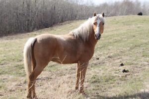 Section B Welsh Pony Stallion for sale