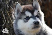 Chiots husky sibériens