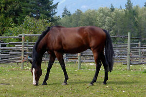 Thoroughbred Gelding 13 yrs