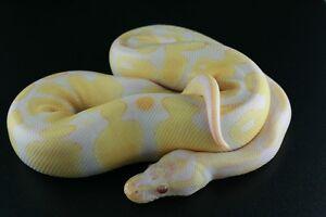 2014 Ball Pythons