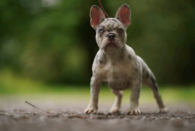 French Bulldogs- 2 Boys - Carrying Testable Chocolate