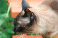 Loving home needed for handsome Siamese-mix cat
