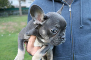 Super rare blue tan french bulldog puppy for sale