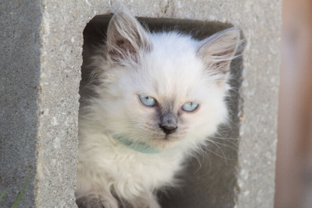 Traditional Balinese Kittens Breed For Hypoallergenic