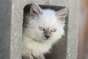 Traditional Balinese kittens (breed for hypoallergenic quality)