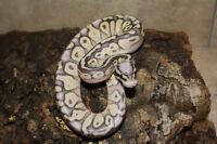 Multiple Ball Pythons - 7 Morphs;5 Normals
