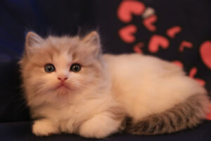 Purebred Ragdoll with Mink or Lynx Color - One Left