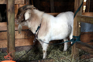 BUCK GOAT, meat breed, Boer X, ready for breeding season