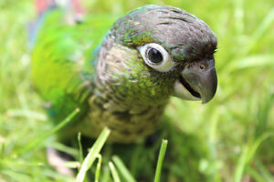 PRICE DROP! Tame, Hand Fed Green Cheek Conures!