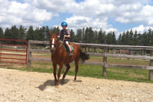 Lovely 15yr old gelding. Sound and sane
