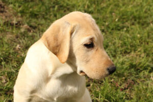 Male CKC Yellow Labrador Puppy! Hunting Companion or Family Pet!