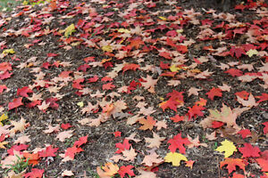 Contact John Wright's Lawn Services for LEAF REMOVAL Sarnia Sarnia Area image 4