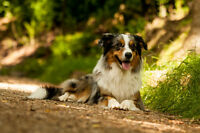 Border Collie ou Berger Australien