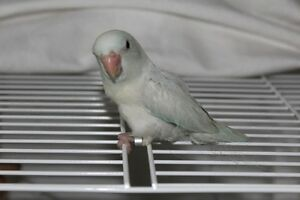 HAND FED BABY PARROTLETS READY TO GO