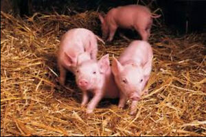 Looking for an experience person to castrate piglets for a fee..