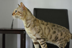 4 yrs old male snow bengal