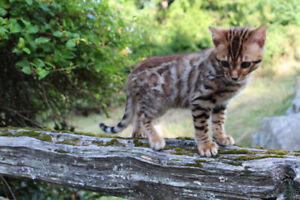 Gorgeous  Red Male Bengal Kitten for Sale