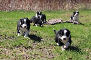 Sweet little Border Collie Puppies!