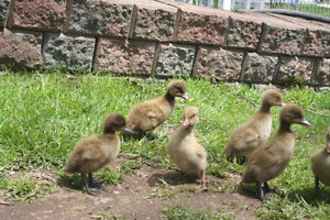 Khaki Campbell Ducklings for sale