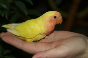 Hand-fed Peach-faced Lutino baby lovebirds want a new home!