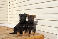 PURE-BRED GERMAN SHEPERDS PUPPIES