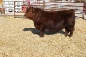 Purebred Red Angus & Horned Hereford Bulls for Sale