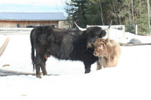 Highland Cows and Heifers