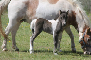 Show quality - Reg small/little horse pintaloosa filly.