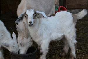 2 Baby Goats For Sale