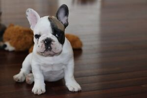 FRENCH BULLDOG PUPPIES ( blue males available)