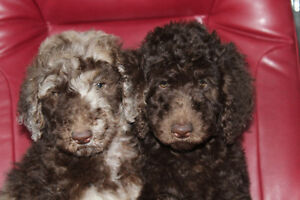 GOLDENDOODLES, BROWN MERLE, BROWNS, BROWN AND WHITE