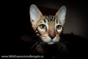 Registered Purebred Male Bengal Avail