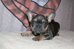 Blue and blue and tan French Bulldog Puppies for sale