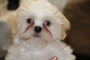 beautiful male Shih Tzu
