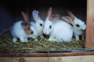 CALIFORNIAN / NEW ZEALAND RABBITS FOR SALE