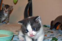 Rescue Kittens & mothers for adoption Calico, Tuxedo,Tabbies
