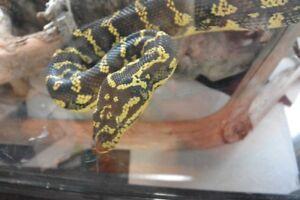 Python tapis à vendre: