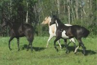 Gorgeous registered Paints and QH's for sale- all ages