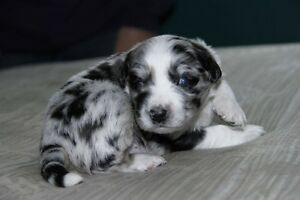 CKC registered Australian Shepherds
