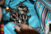 Family of Sugar Gliders