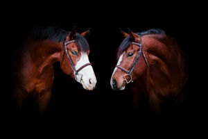 Equine Photographer