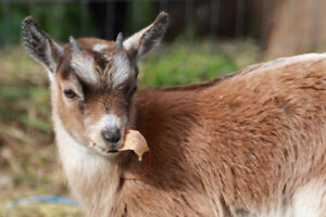 Adorable Nigerian/Pygmy Goat Kid for Sale!