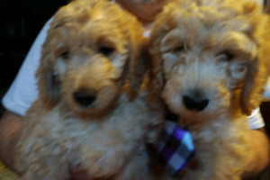 Doodle 13 week all ready to go now come today to see them!