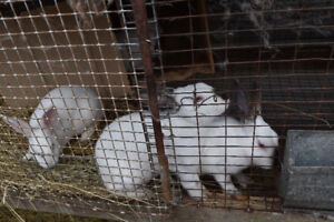 californian rabbits, males(12weeks old and one 11 months old)