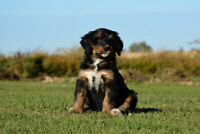 SOLD Female F1b Bernedoodle Puppy SOLD