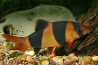looking for large clown loach